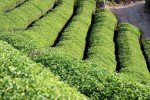 Teefelder