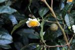 Teeblüte und Samen
